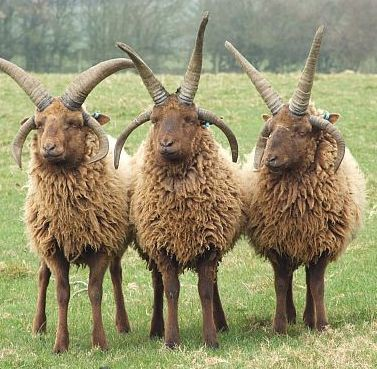 AI Sheep